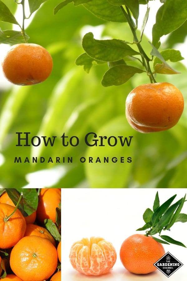 learn to grow mandarin oranges