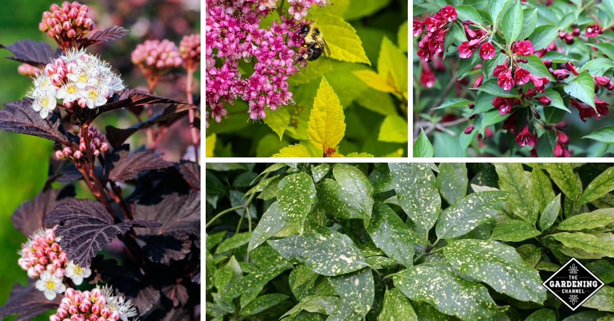 Best 10 Shrubs With Colorful Foliage Gardening Channel