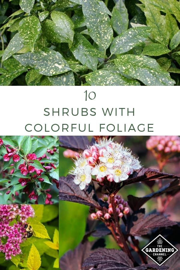 gold dust plant weigela spirea shrubs with text overlay ten shrubs with colorful foliage