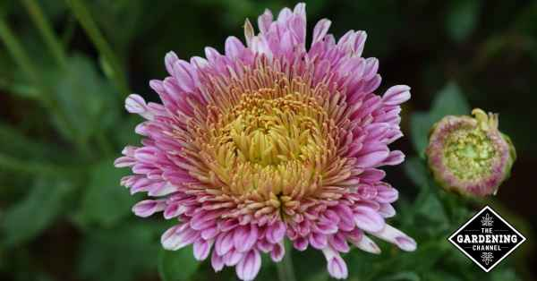 china aster flowers