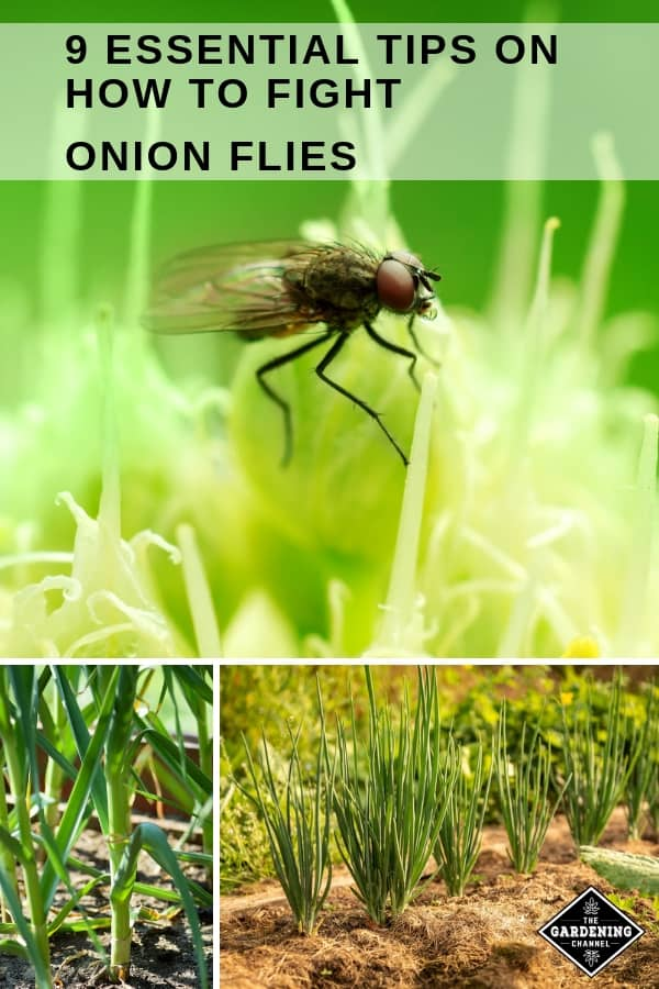 onion fly on onion garlic onion crops with text overlay nine essential tips on how to fight onion flies