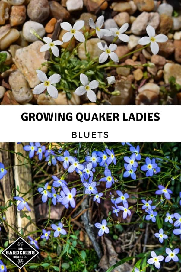 white quaker bonnets and bluets with text overlay growing quaker ladies bluets