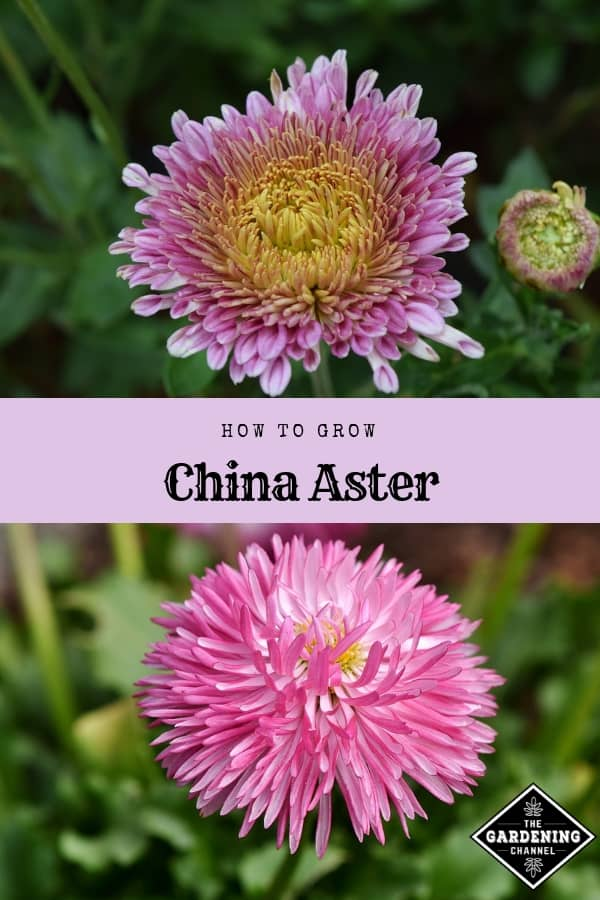 china aster blooming pink aster with text overlay how to grow china aster