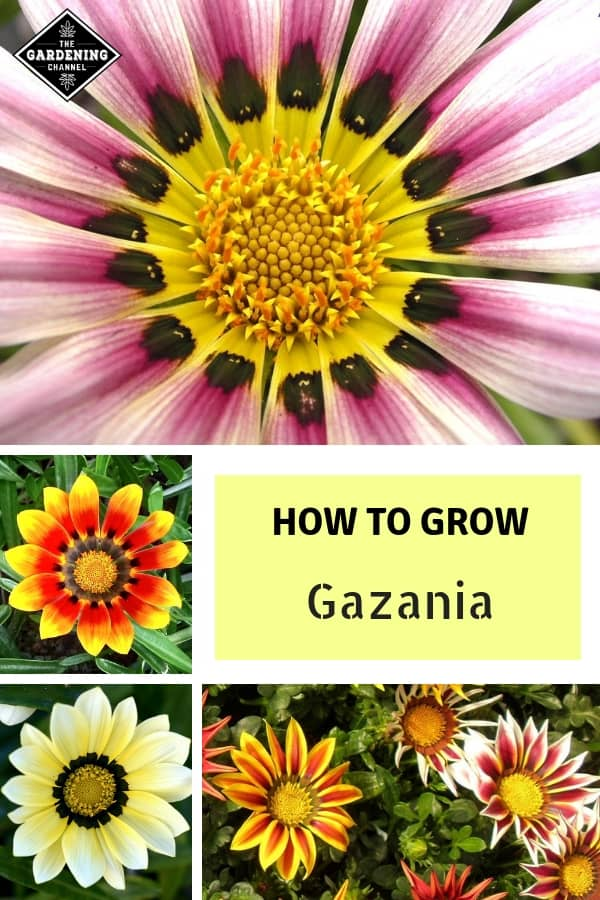 gazania flowers with text overlay how to grow gazania