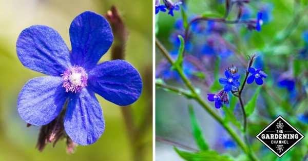 growing blue dropmore perennials
