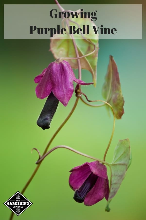 purple bell vine with overlay text growing purple bell vine