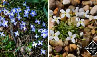 growing bluets
