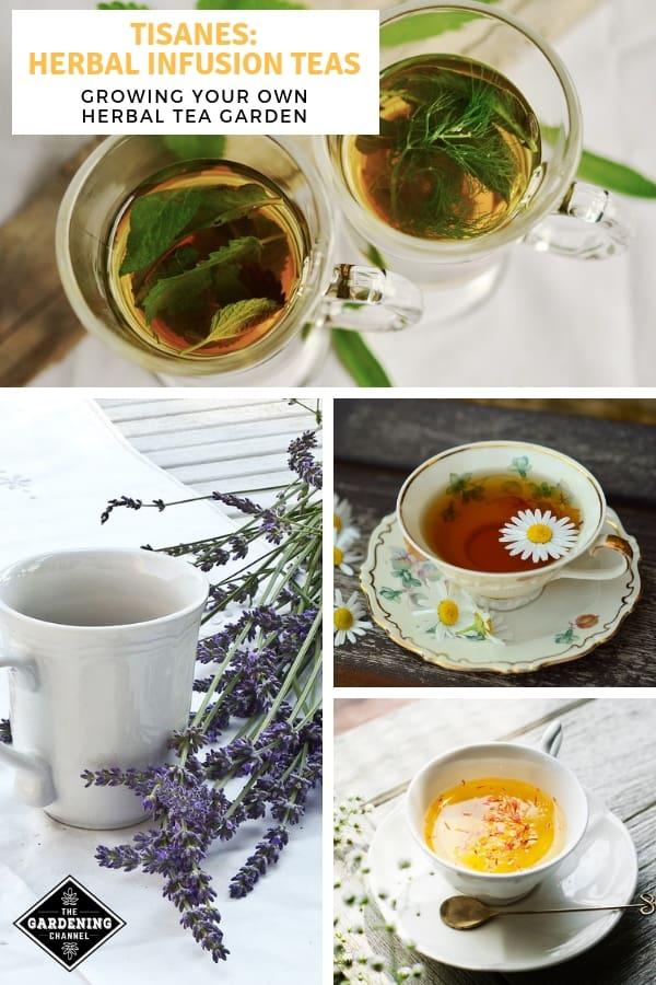 sage mint chamomile lavender tisanes from herbal tea garden