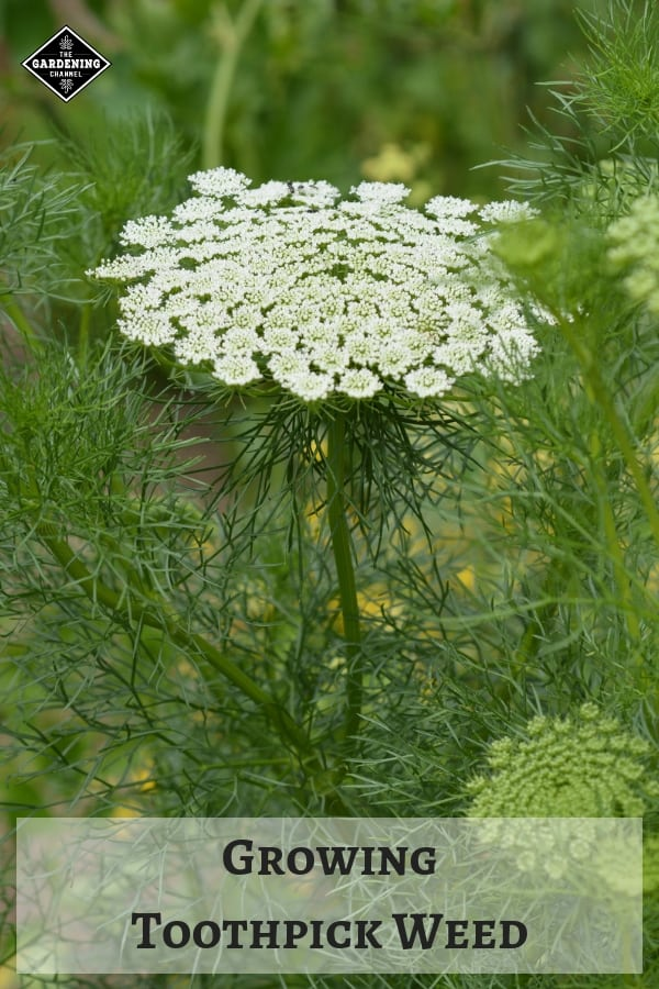 Ammi Visnaga with text overlay how to grow toothpick weed