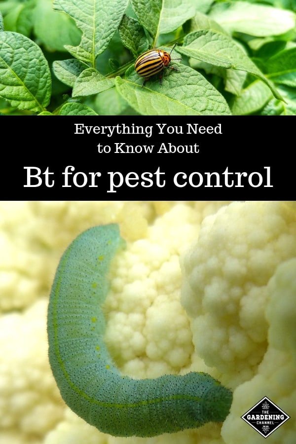 colorado potato beetle and cabbage looper with text overlay everything you need to know about bt for pest control