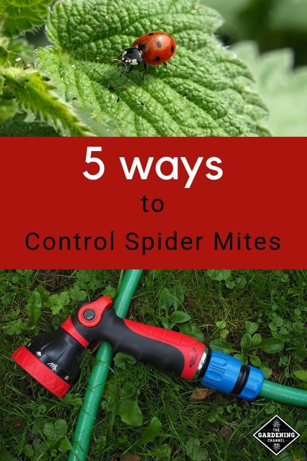 ladybug water spray hose text overlay 5 ways to control spider mites