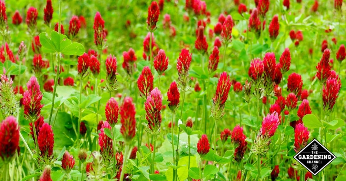 how to grow crimson clover