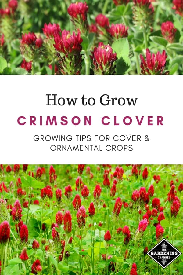 crimson clover with text ovleray how to grow crimson clover growing tips for cover and ornamental crops