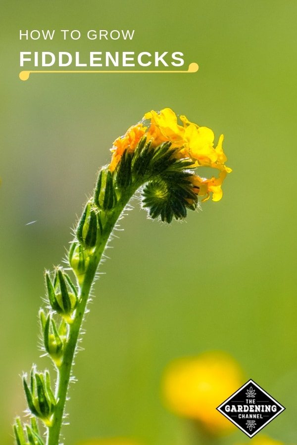 yellow fiddleneck in the garden with text overlay how to grow fiddlenecks