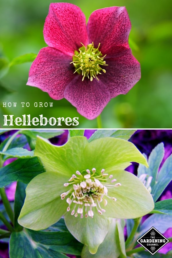 purple and white christmas rose with text overlay how to grow hellebores
