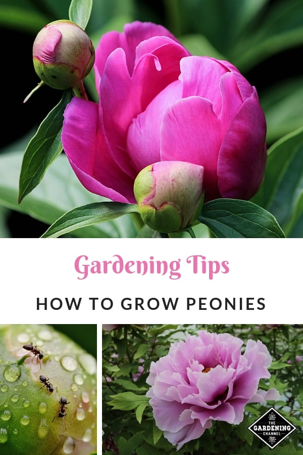 peonies pink ants peony blooms with text overlay gardening tips how to grow peonies