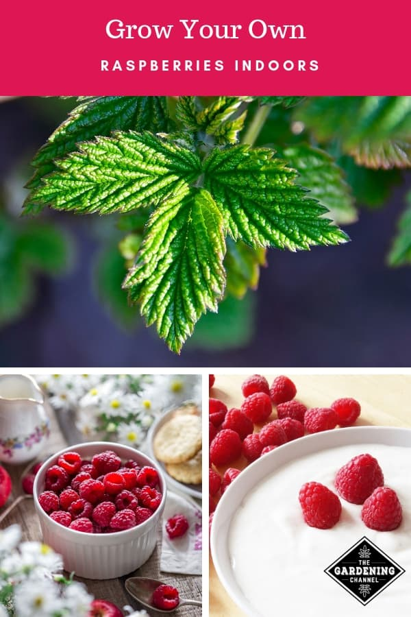 raspberry plant and raspberry dishes with text overlay grow your own raspberries indoors