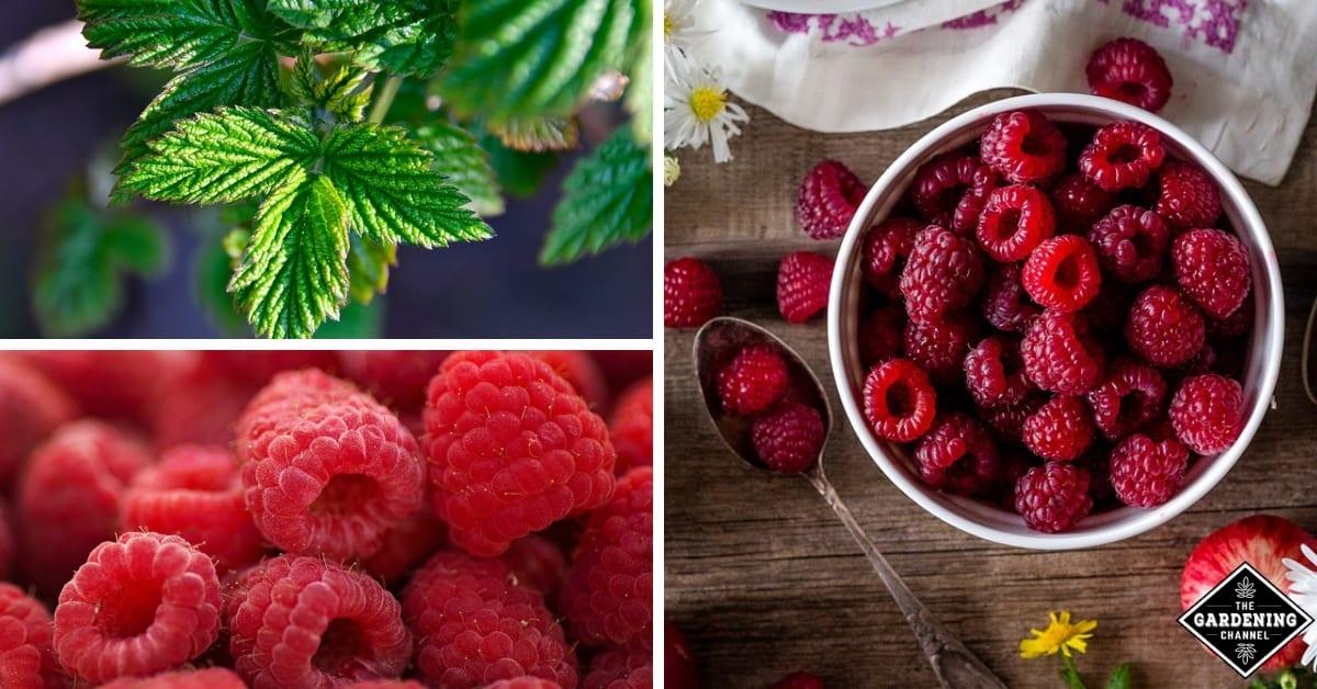 growing raspberries inside