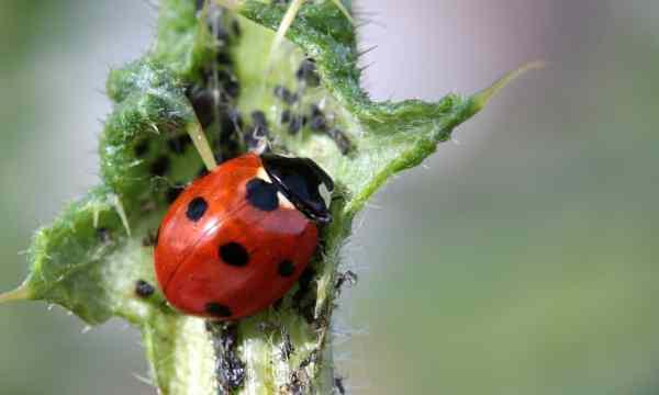 ladybug natural pest control