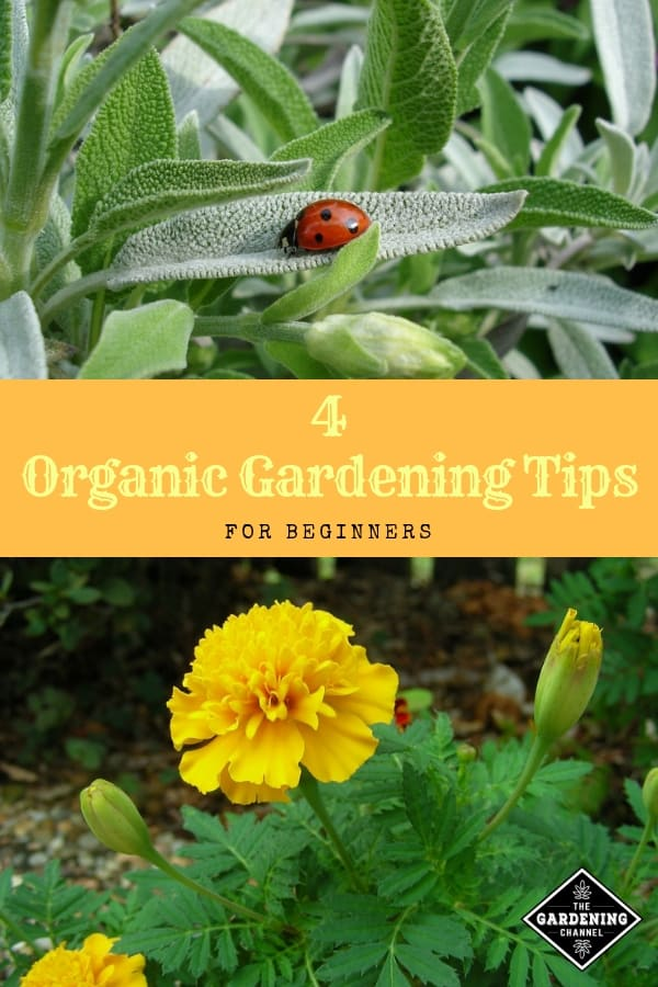ladybug sage marigolds with text overlay four organic gardening tips for beginners