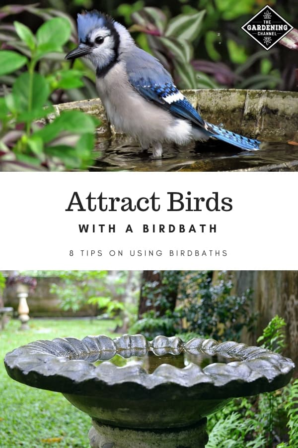 blue jay in birdbath and garden birdbath with text overlay attract birds with a birdbath eight tips on using birdbaths