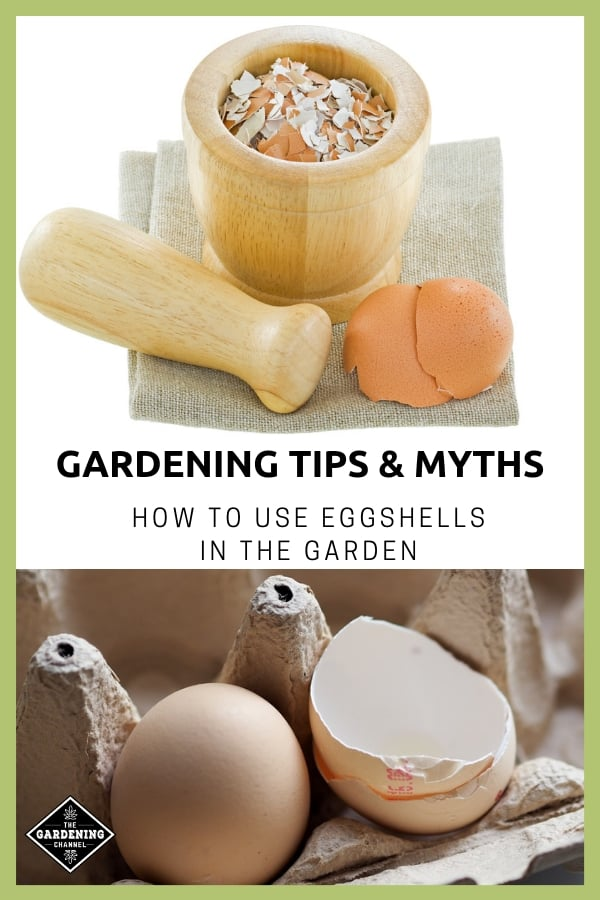 crushed eggshells cracked eggs with text overlay gardening tips and myths how to use eggshells in the garden