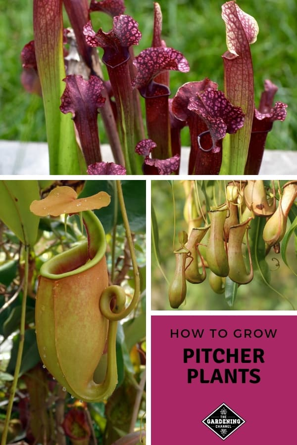 pitcher plant varieties with text overlay how to grow pitcher plants