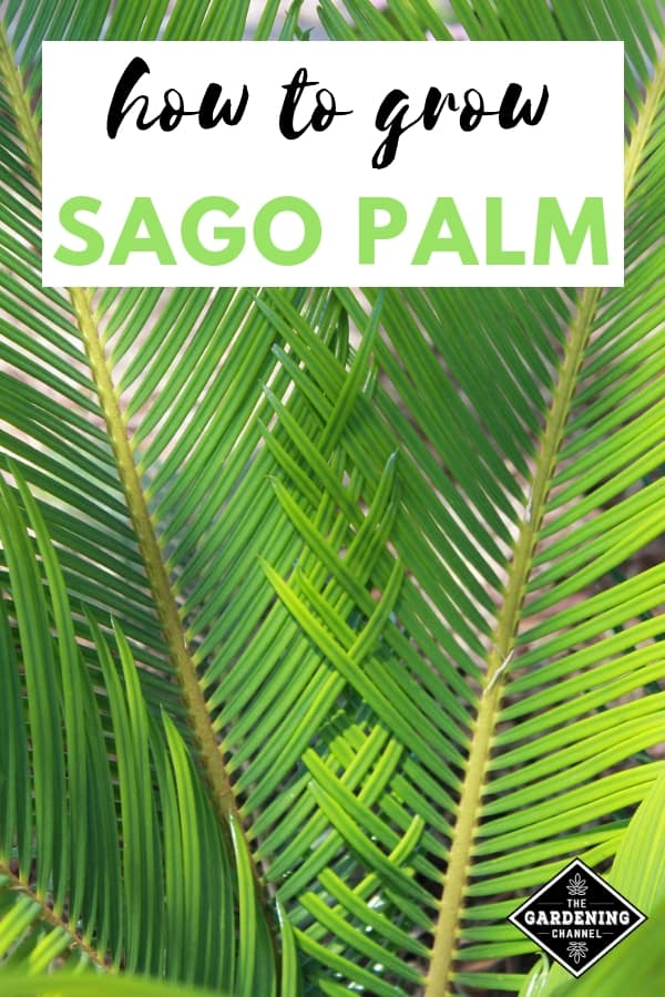sago palm with text overlay how to grow sago palm