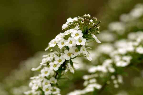 growing fragrant flowers sweet alyssum