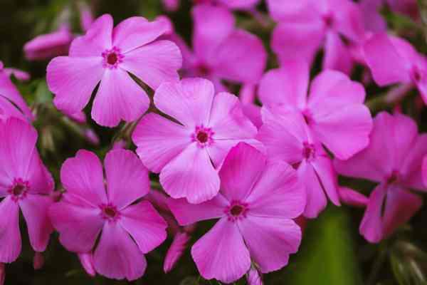 phlox fragrant flowers