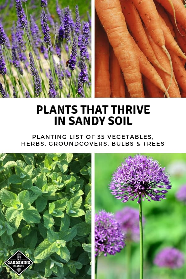 lavender carrots oregano allium with text overlay plants that thrive in sandy soil planting list of thirty five vegetables herbs groundcovers bulbs trees