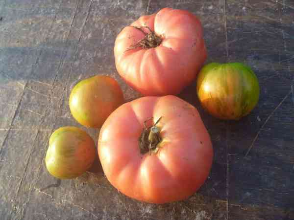 Master List of Heirloom Tomatoes - Gardening Channel