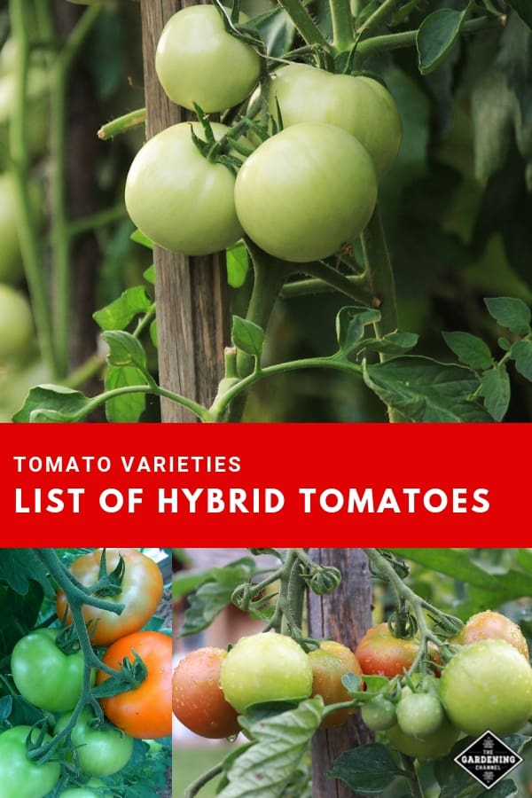 tomatoes in garden with text overlay tomato varieties list of hybrid tomatoes