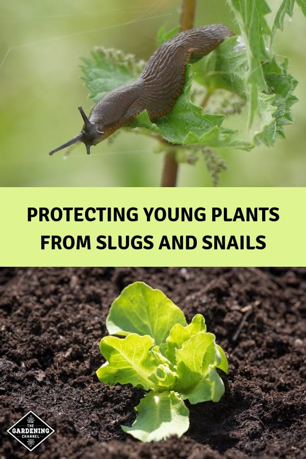 slug and lettuce seedling with text overlay protecting young plants from slugs and snails