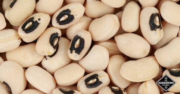 cooking with black eyed peas