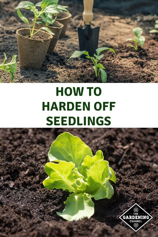 planting transplants and lettuce seedling with text overlay how to harden off seedlings