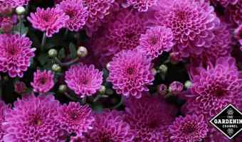 growing fall mums