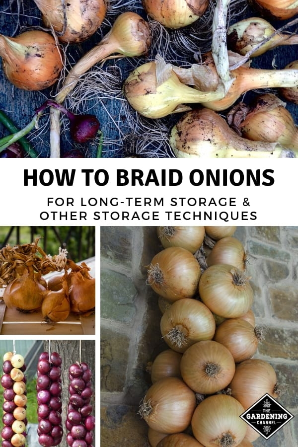 harvest curing onions with braided onions and text overlay how to braid onions for longterm storage and other storage techniques
