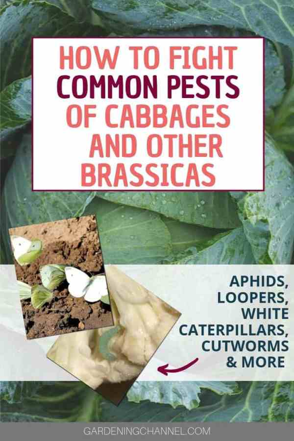 cabbage and white butterflies and loopers with text overlay how to fight common pests of cabbages and other brassicas aphids loopers white caterpillars cutworms and more