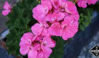 growing and caring for geraniums