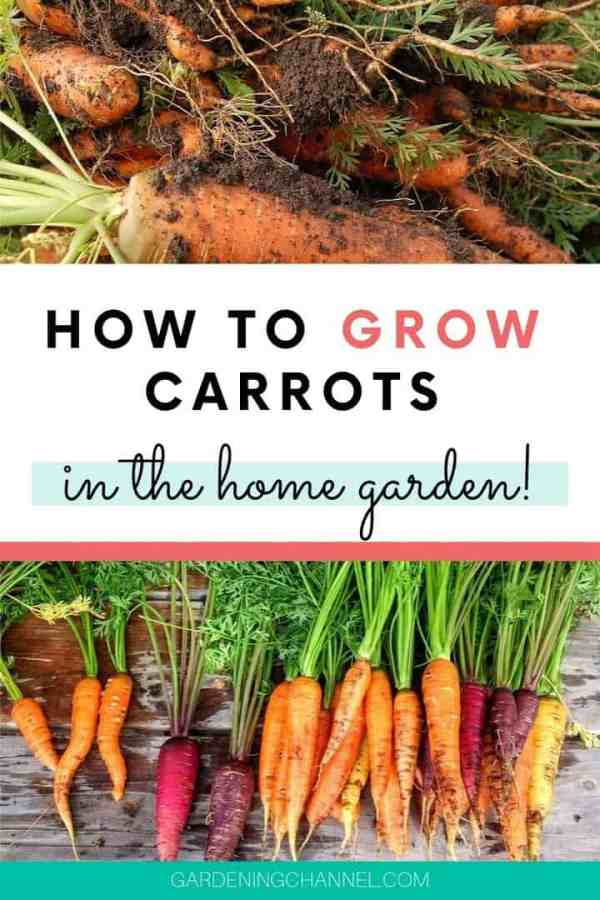 harvest carrots with soil and washed with text overlay how to grow carrots in the home garden