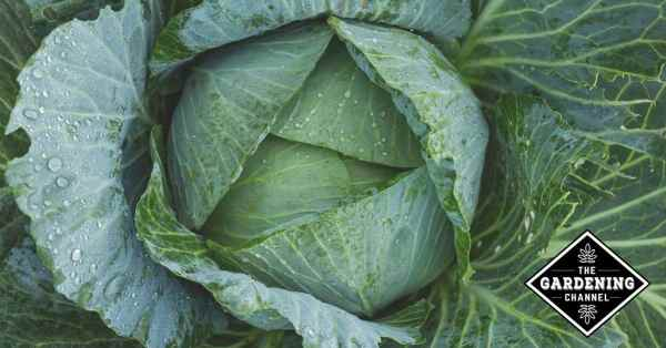 fighting brassica pests