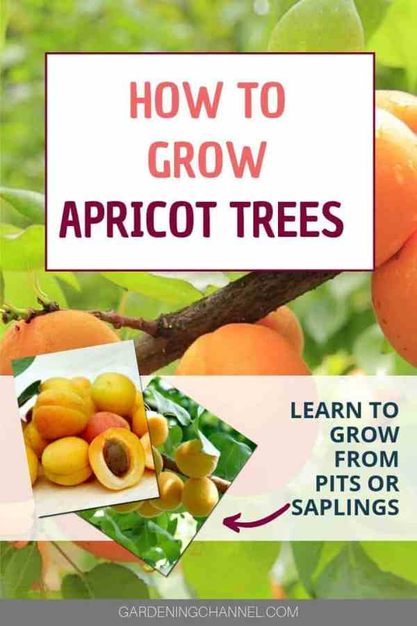 apricot trees and apricots with text overlay how to grow apricot trees learn to grow from pits or saplings