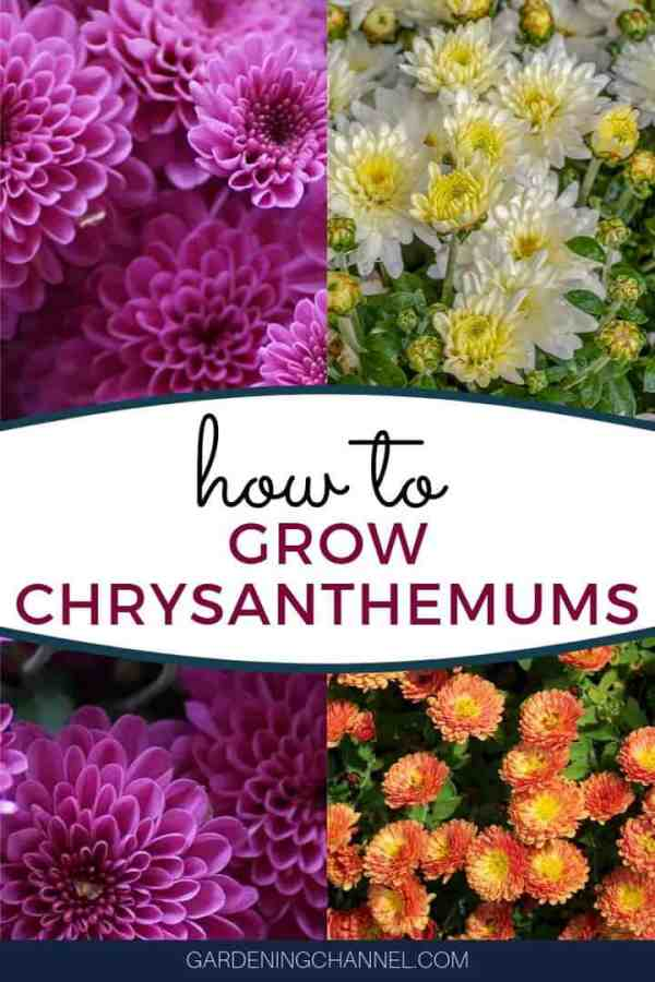 pink white marigold mums with text overlay how to grow chrysanthemums