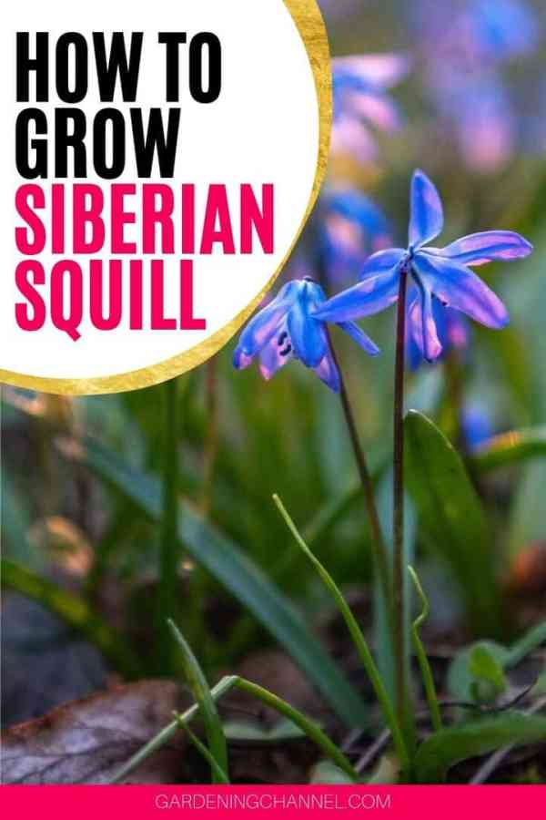 Siberian Squill with text overlay how to grow Siberian Squill