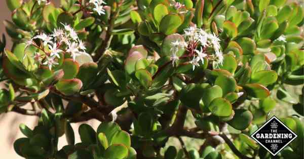 growing jade plants