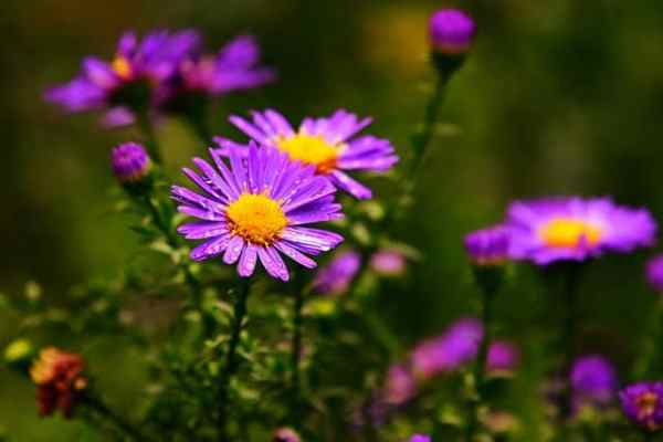 growing aster flowers