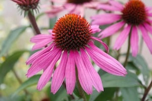 growing coneflower