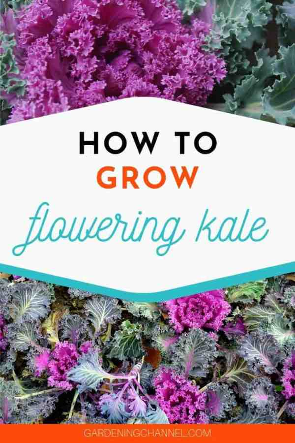 flowering kale in garden with text overlay how to grow flowering kale
