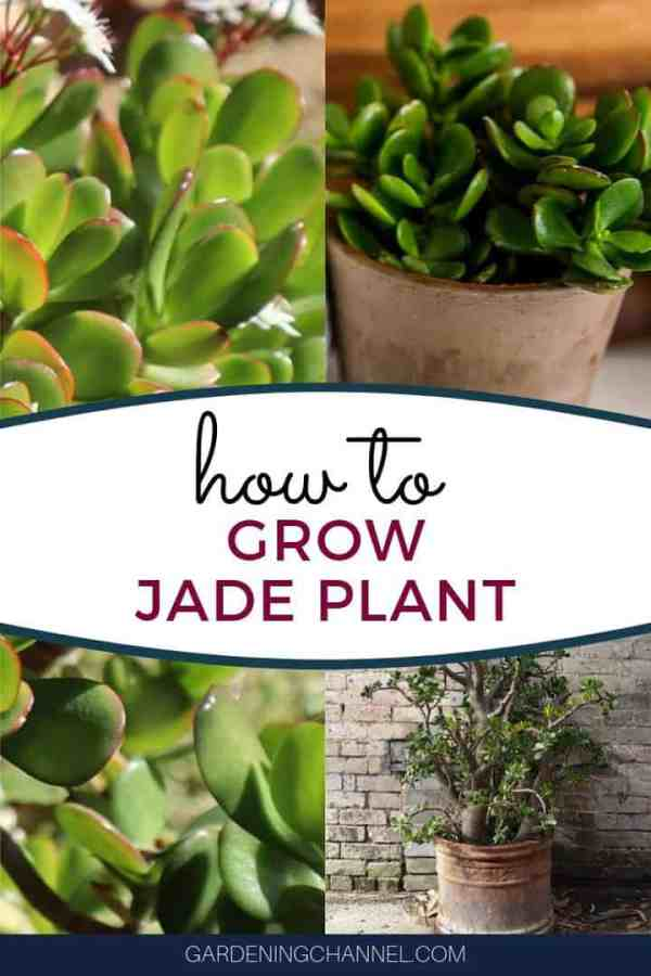jade plants in containers with text overlay how to grow jade plant